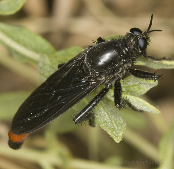 Large Black & Red Robber Fly - Ospriocerus vallensis