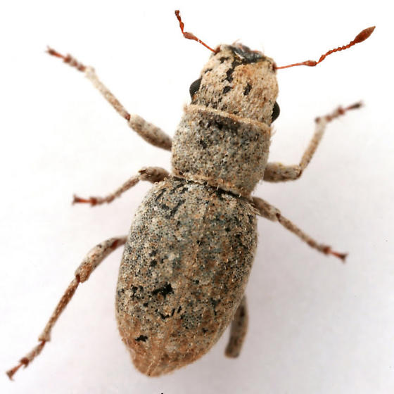 Minyomerus laticeps (Casey) - Minyomerus laticeps
