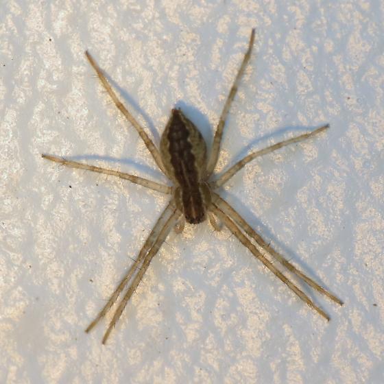 Unknown Spider - Pisaurina mira - female
