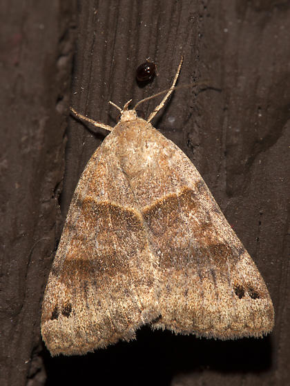 8738, Clover Looper, Caenurgina crassiuscula - Caenurgina crassiuscula