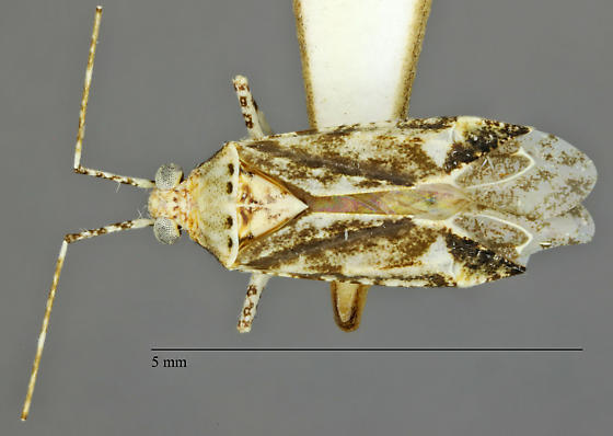 Hemiptera - Phytocoris