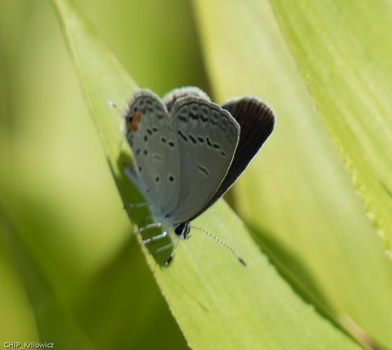 Eastern-Tailed Blue - Cupido comyntas