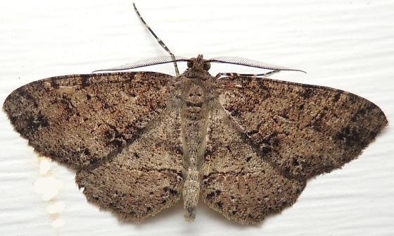 Canadian Melanolophia - Hodges#6620 - Melanolophia canadaria