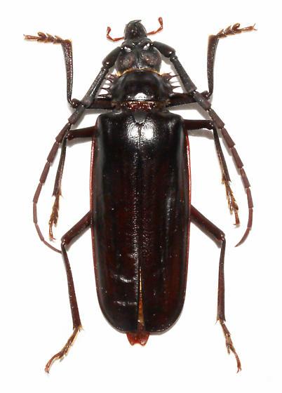 - - Derobrachus geminatus