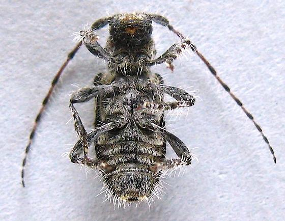 Flat-Faced Longhorn Beetle - Poliaenus oregonus