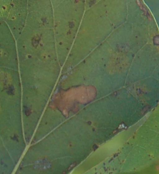 St. Andrews leaf miner on Quercus nigra SA652 2016 1