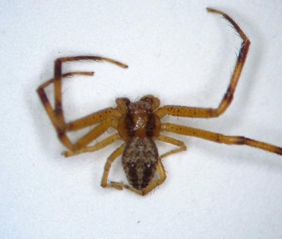 KY spider 06 - Mecaphesa asperata - male