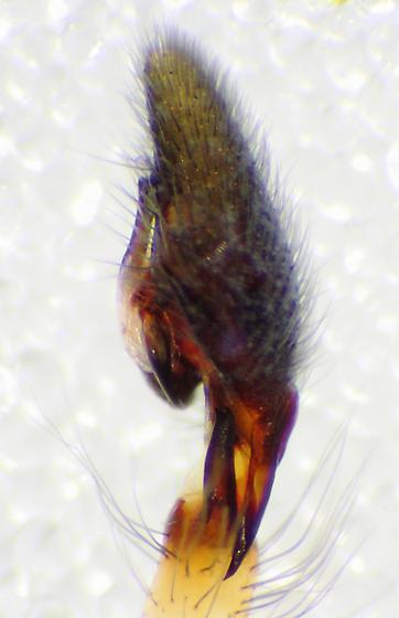 Pedipalp, retrolateral view - Cheiracanthium inclusum - male