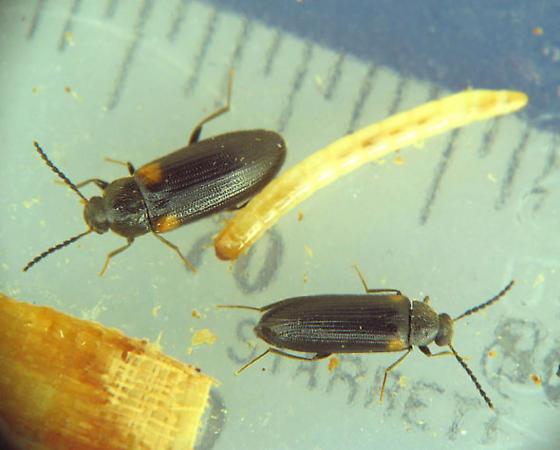 J larvae and adults - Mycetochara binotata