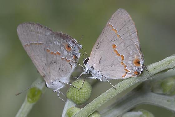 Gray Ministreak - Ministrymon azia - female