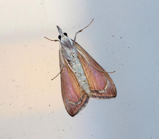 Moth on Glass Pane of Balcony - Uresiphita reversalis