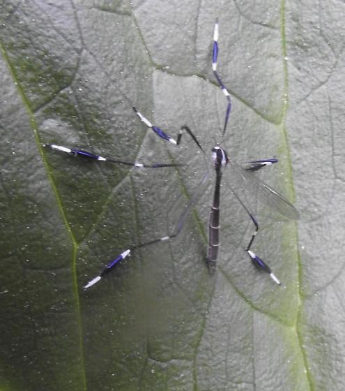 Species ID possible? - Bittacomorpha clavipes