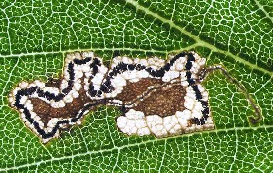 Nepticulidae, #1 mine on River Birch, back light - Stigmella corylifoliella