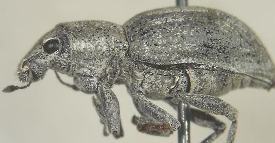 Phacepholis texanellus Buchanan - Phacepholis candidus