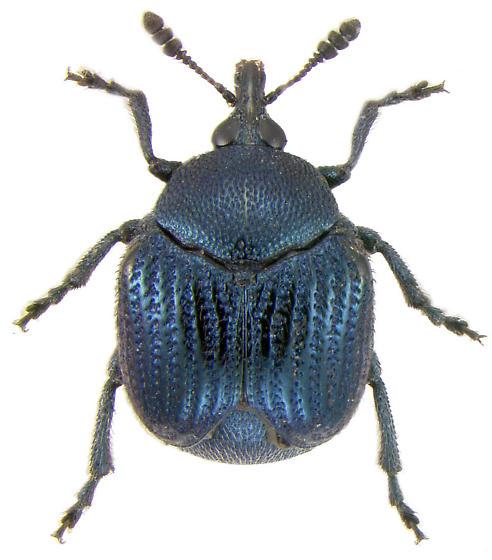 Pterocolus ovatus (Fabricius, 1801) - Pterocolus ovatus