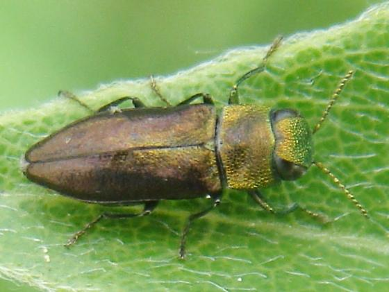 Metallic Wood-boring Beetle on wisteria - Anthaxia