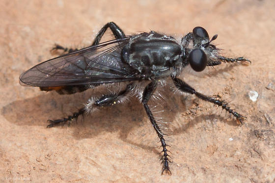 Unknown Robber Fly from Mount Diablo - Andrenosoma fulvicaudum