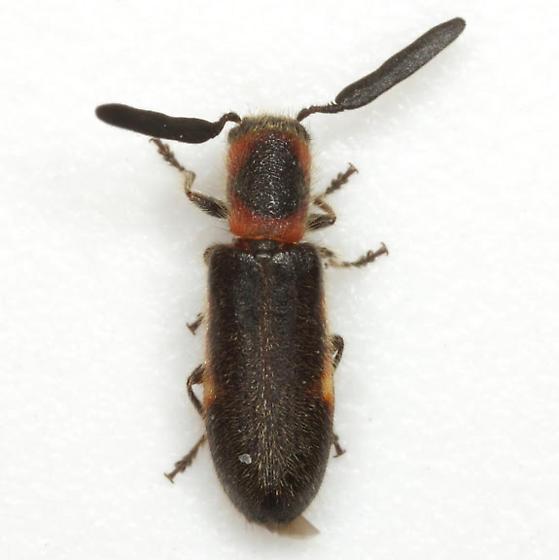Monophylla terminata (Say) - Monophylla terminata - male