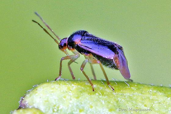 Bug ? - Monalocoris americanus