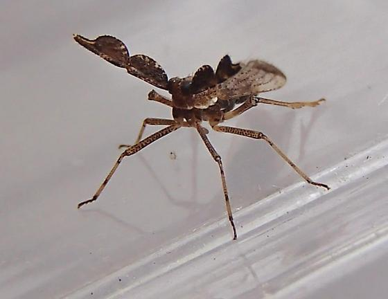 Planthopper? - Copicerus irroratus