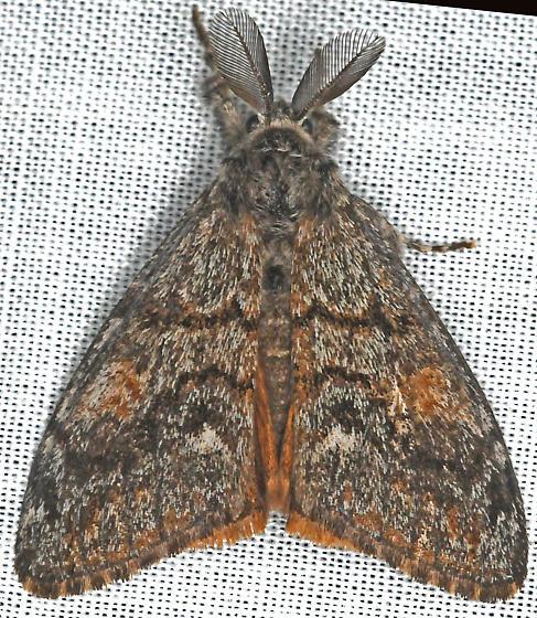 Moth - Orgyia pseudotsugata