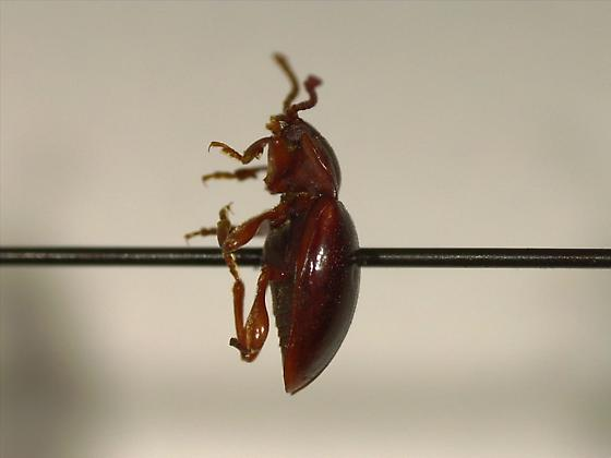 Endomychidae