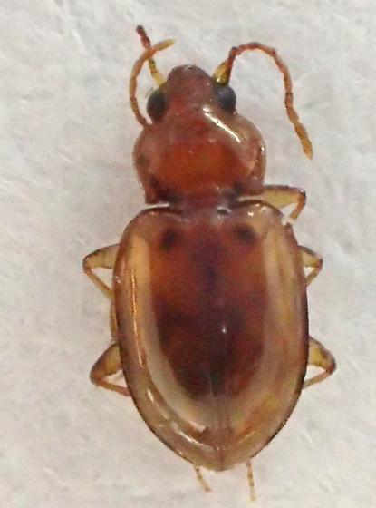 ref photo for peter Messer - Elaphropus obesulus