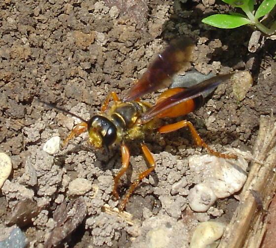Digger wasp about to take off - Sphex ichneumoneus - female