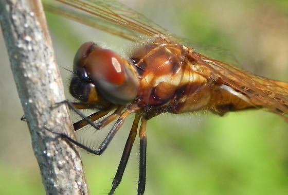 Dragonfly - Miathyria marcella - male