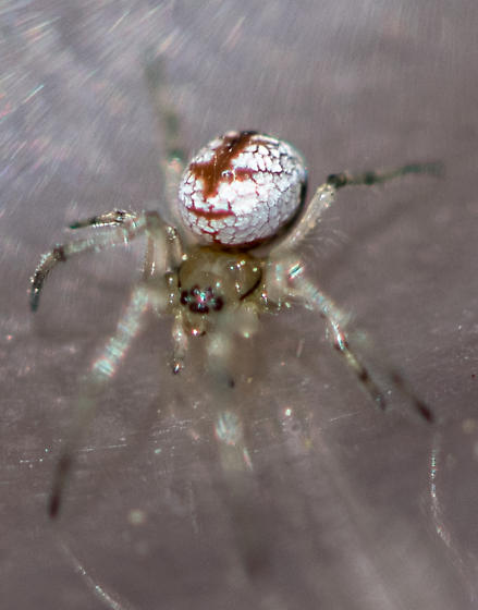 spider0418153 - Leucauge venusta