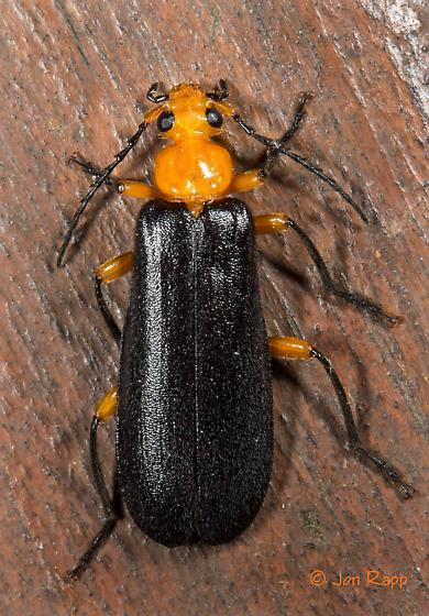 Fire-colored Beetle - Neopyrochroa femoralis