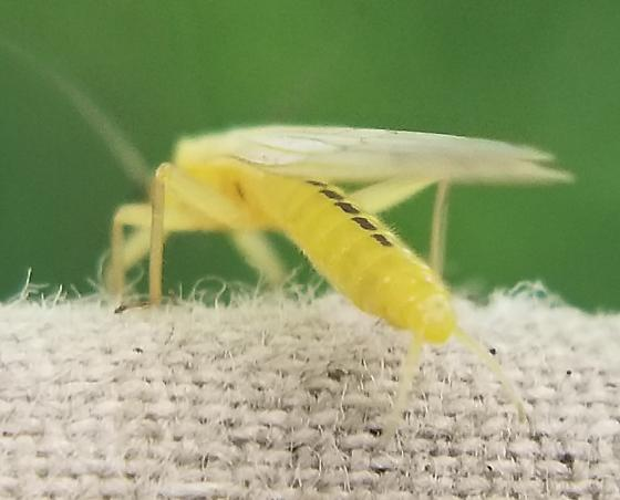 Small Yellow Plecoptera