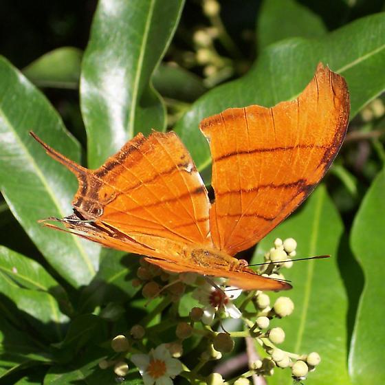 Marpesia petreus