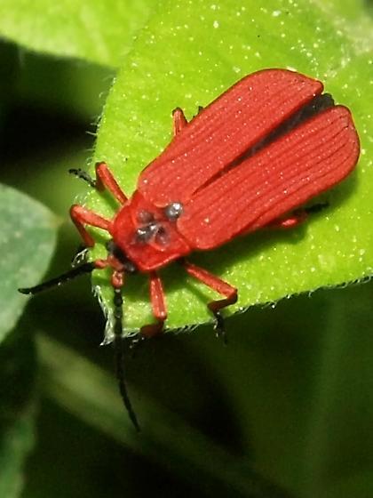 Dictyoptera simplicipes? - Dictyoptera simplicipes