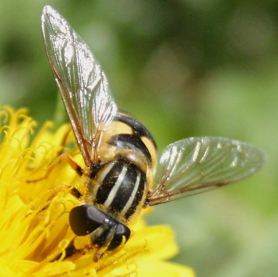 bee and wasp mimicker - Helophilus fasciatus