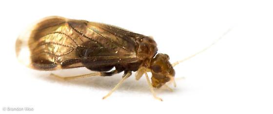 Polypsocus corruptus - female