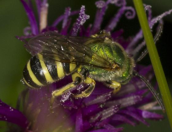 Agapostemon sp. texanus or splendens?  - Agapostemon - male