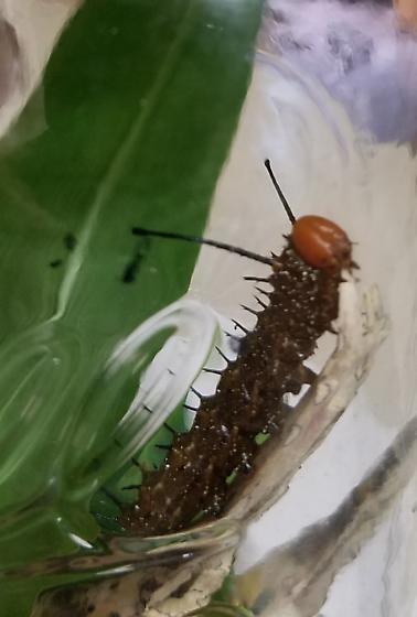 Unknown Caterpillar ? frittalry? - Anisota stigma
