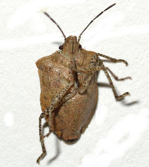 Euschistus - Euschistus biformis