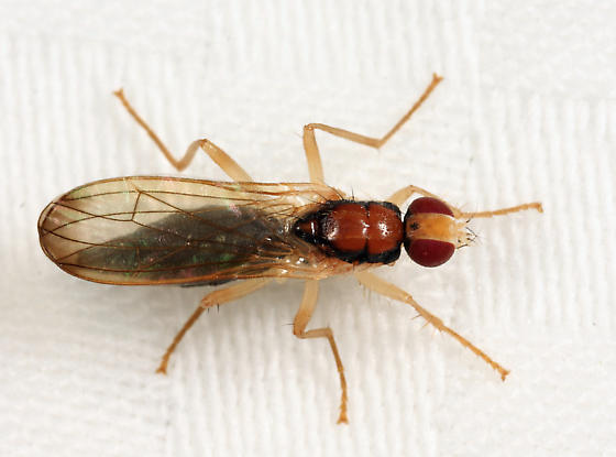 dung fly - Cordilura