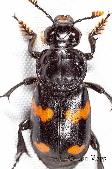Roundneck Sexton Beetle - Nicrophorus orbicollis - male