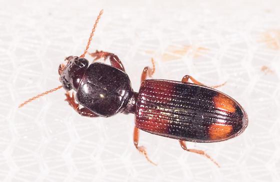 Small Red and Black Beetle - Paraclivina bipustulata