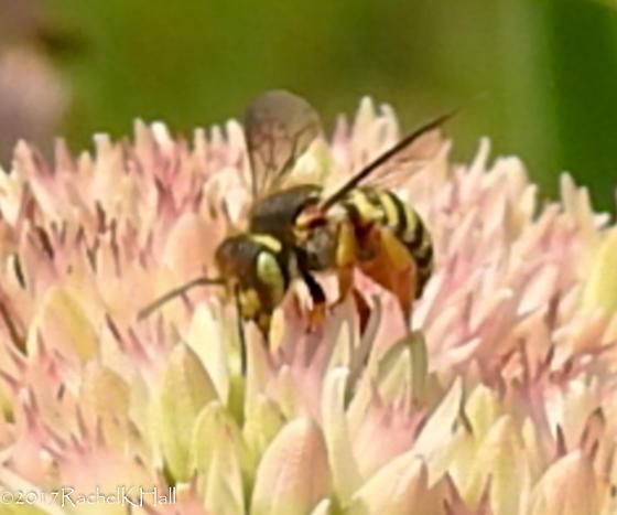 Yellow eyes...Wasp or flower fly?   Need help - Anthidium oblongatum