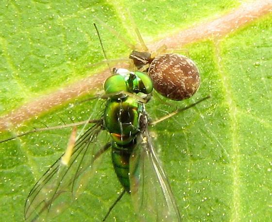 On common milkweed, feeding on longlegged fly