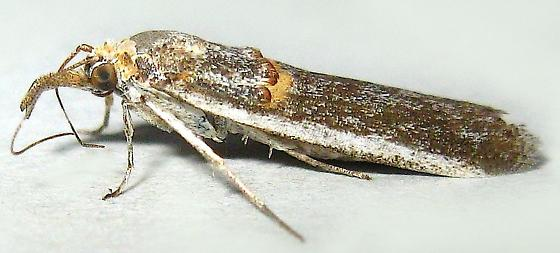 Gold-banded Etiella Moth - Etiella zinckenella