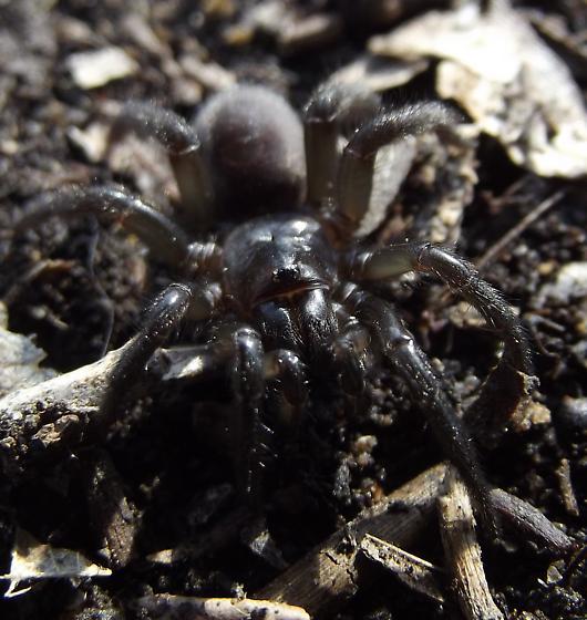 Trapdoor Spider  (Antrodiaetus) - Antrodiaetus lincolnianus - female