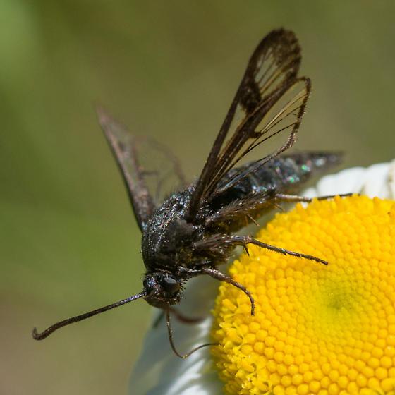 Clearwing moth ID - Albuna pyramidalis - female