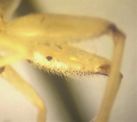 Diptera - Solva pallipes