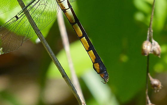 Slaty Skimmer immature female? - Libellula - female