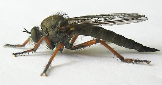 Large Robber Fly - Neomochtherus californicus - female